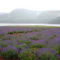 かなやま湖のラベンダー畑